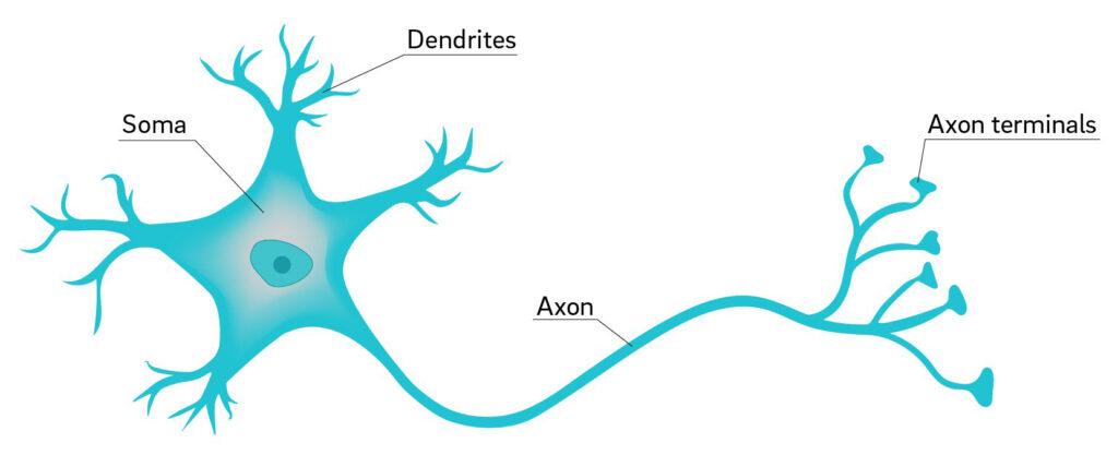 Bagan Bagan Saraf dan Neuron