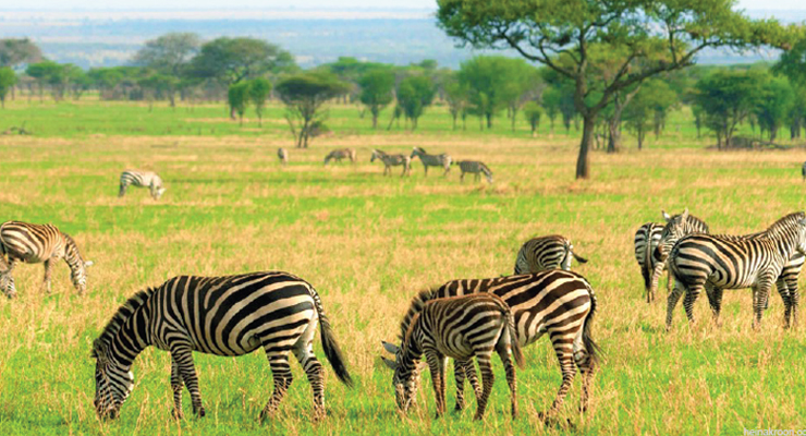 Ekosistem PAdang Rumput Savana di Afrika dengan Kuda Zebra